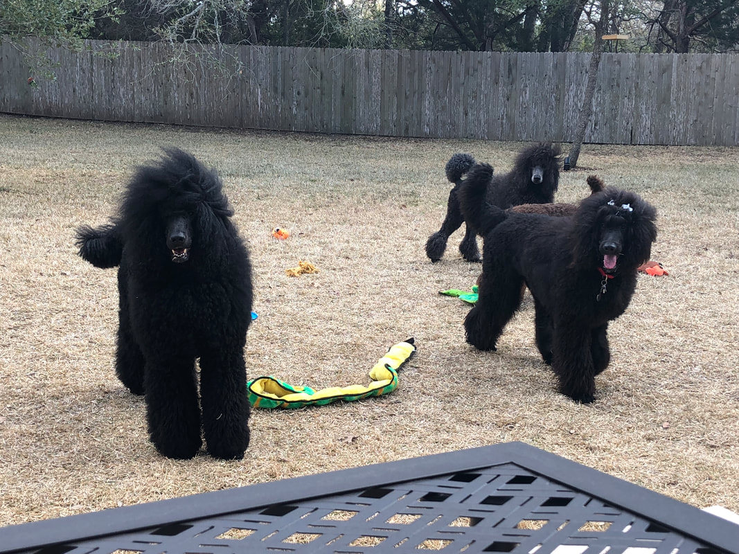 FIGZ POODLES - Poodle Puppies * Fully Trained Service
